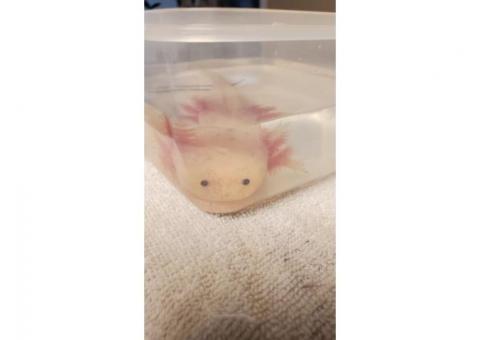 Annie's Axolotls